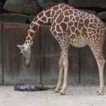 Concerned mother waits anxiously to know if baby giraffe survived birth