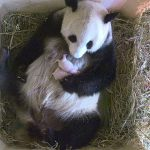 Zookeepers' rejoice after Giant Panda gives birth to twins