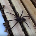 Brave bees overwhelm giant spider invading their home