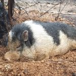 Wildfire evacuees returns to ruined home, find beloved pet pig waiting for them