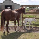Mama horse teaching her filly how to run will warm your heart and put a smile on your face