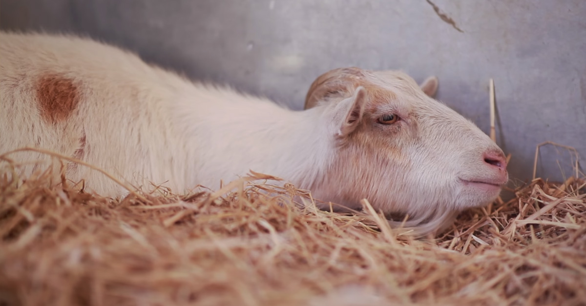 Sad Goat Was So Depressed He Didn't Eat Anything For Six